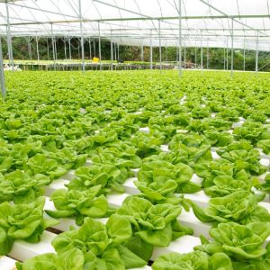 13506310-organic-hydroponic-vegetable-garden-at-cameron-highlands-malaysia