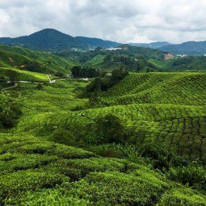 Boh_Tea_Plantation_e790250b-7bcc-4552-9e57-7d4d27c12e3f