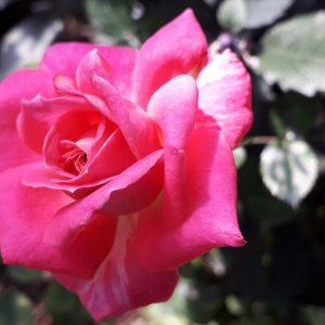 Rose Valley @ Cameron Highland 13